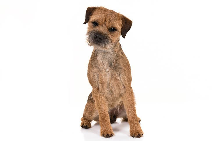 Image of a Border Terrier Dog