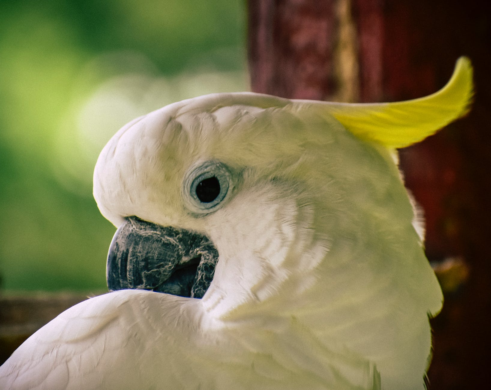 Imagine of a cockatoo which as white feathers along its body, a black beak, blue eyes and a yellow feather flicking out from its head.