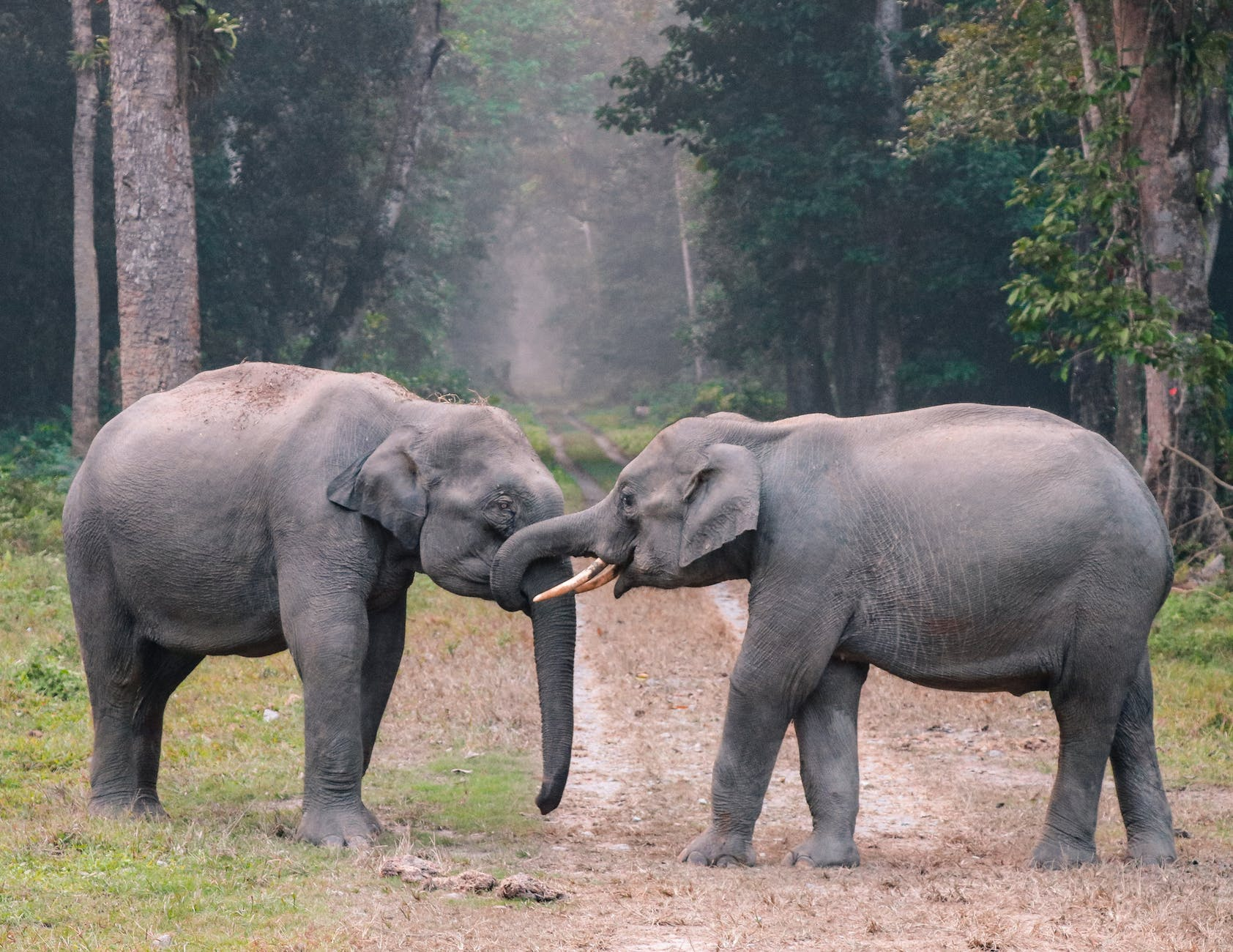 Imagine of two elephants in a forest with their tusks wrapped around each others tusks.