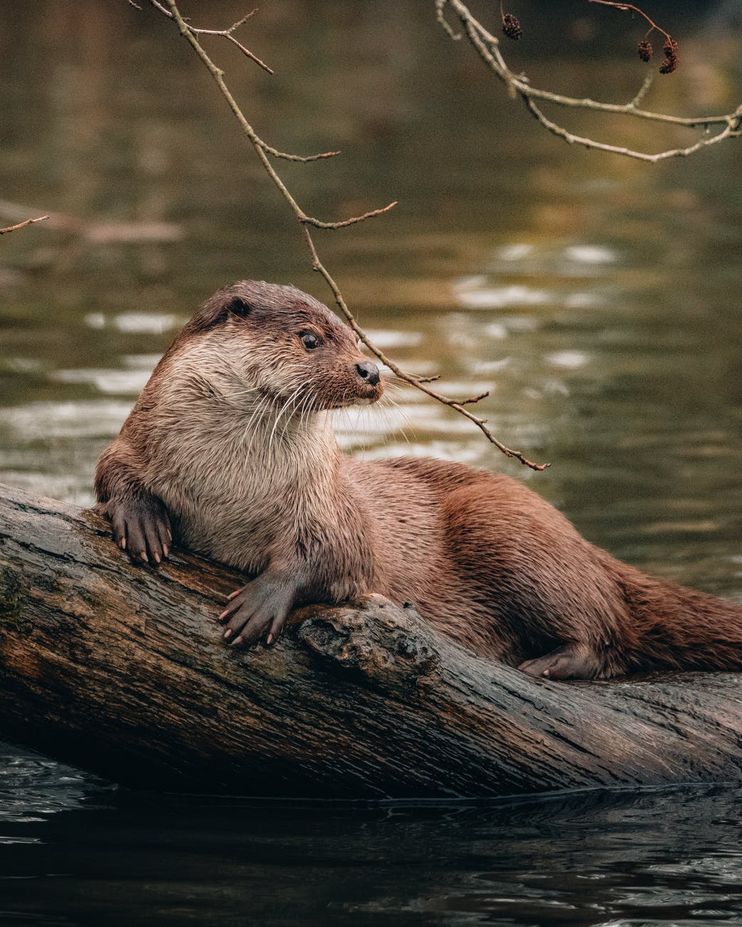Image of a beaver on a log in the river