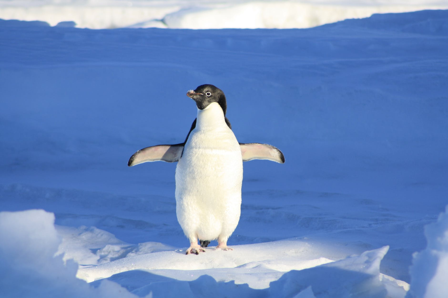 A penguin with its wings spread against a snow background.